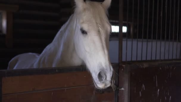 Bílý kůň v kabince na farmě, pomalý pohyb.