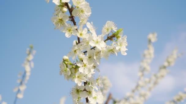 Virágzó almafa, közelről az égre. Tavasz, a fák virágzó.