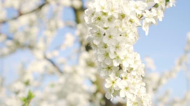 Virágzás ága a fa ellen, a kék eget. Tavasz és természet.