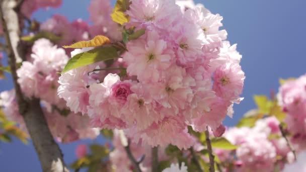 Krásný Kvetoucí strom na jaře. Jaro, přírodní květy.