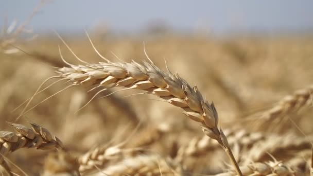 Golden ear of wheat close up. Wheat field, cereals.