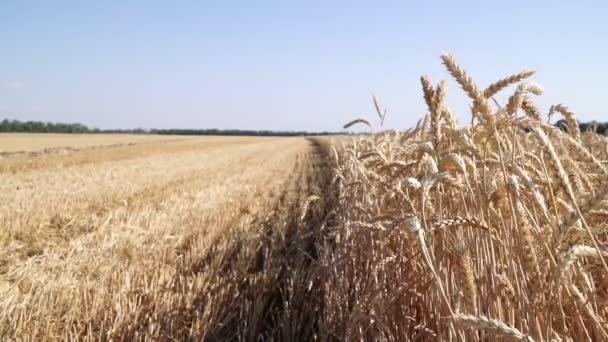Panorama of a wheat field. Ripe wheat, harvesting.