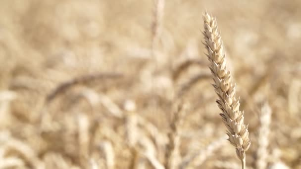 Ripe wheat, harvesting. Beautiful ear of wheat, close-up, cereals, agriculture.