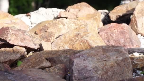 Black poisonous snake viper creeping on stones.