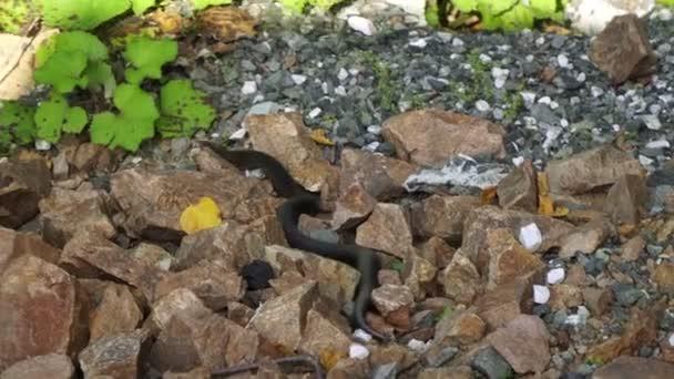 black poisonous snake creeps on stones