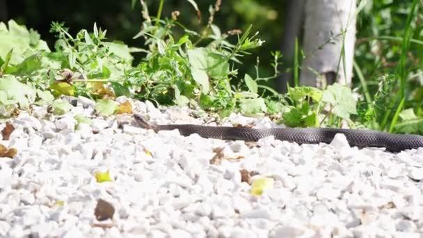 Černý jedovatý had zmije leží na kamenech.
