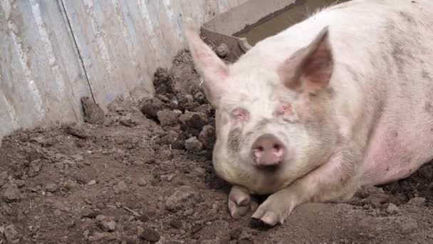 Tlusté prase leží v blátě na zemi, zvířecí farma.