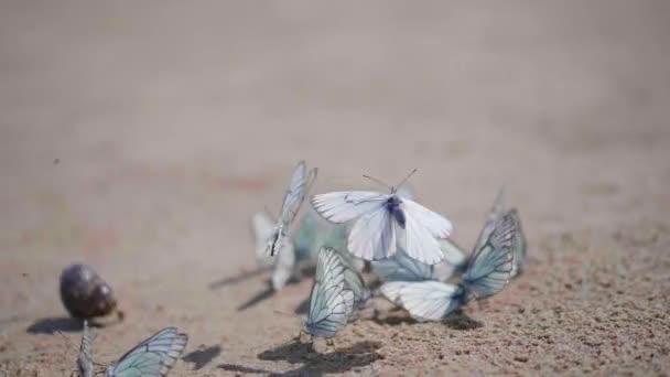 Egy csomó fehér pillangók ült a homokon, a pillangó a káposzta pillangó