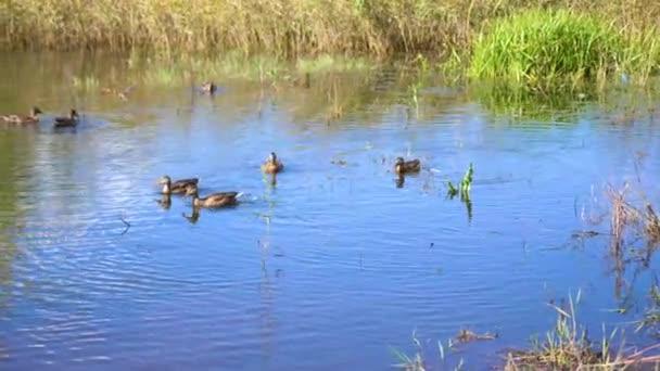 Malé jezero v parku, žloutnutí stromy podél pobřeží. Divoké kachny plavání na jezeře. Odrazem oblohy a stromy ve vodě jezera. Krásné vyhlídkové místo