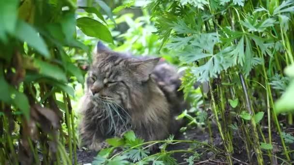 Große graue Katze sitzt im Gartenbusch. Maine coon