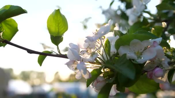 Blooming Apple tree close up. Pollination of inflorescences by bees