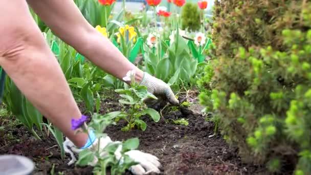 Der Gärtner kümmert sich um die Gewächshausblumen.