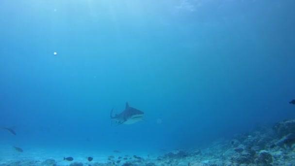 Tigerhai schwimmt in blauem Wasser in flachem Wasser - Indischer Ozean, Insel Fuvahmulah, Malediven, Asien