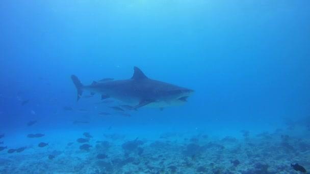 Tigriscápa úszni a kék víz felett alja reef - Indiai-óceán, Fuvahmulah island, Maldív-szigetek, Ázsia