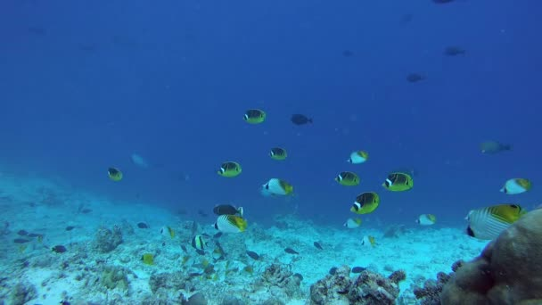 school of Butterflyfish flees frightened by a school of Bayads, Butterflyfish Threadfin Butterflyfish - Chaetodon auriga, Raccoon butterflyfish - Chaetodon lunula and Giant trevally - Caranx ignobilis Indian Ocean, Fuvahmulah island, Maldives, Asia