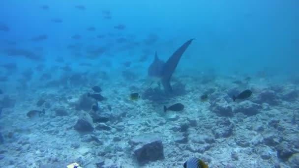 Élelmet keresve két tiger cápák körözés alatt az alján a zátony, sekély vízben - Indiai-óceán, Fuvahmulah island, Maldív-szigetek, Asia