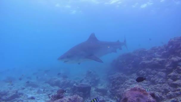 Tigerhai schwimmt über Grund des Riffs - Indischer Ozean, Insel Fuvahmulah, Malediven, Asien