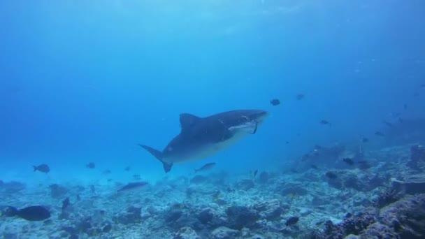 Tigriscápa csákány megjelöl a maradvány, tonhal és más halászati hulladékot dobott az óceánba halászok - Indiai-óceán, Fuvahmulah island, Maldív-szigetek, Ázsia