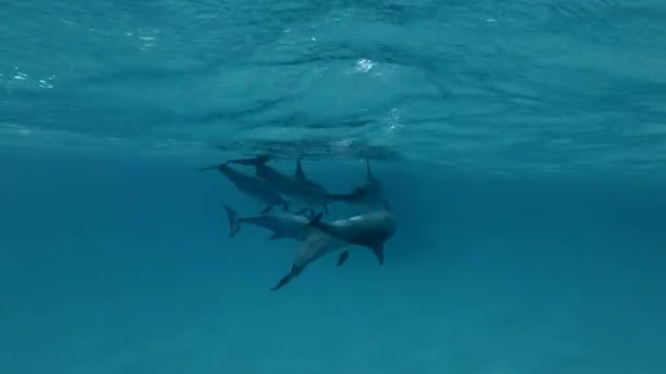 Two pairs of Spinner Dolphins mating and change partners (Underwater shot, 4K / 60fps)