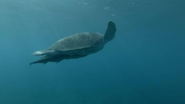 Zelená Mořská želva plavat na povrchu vody, dělá kolik nádechů a ponory na dno (Chelonia mydas) podvodní záběr, 4k / 60fps