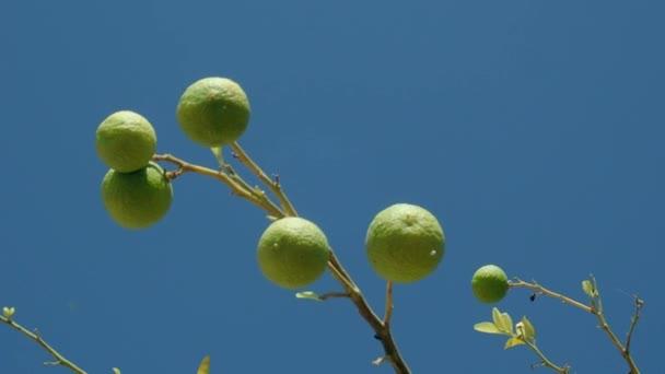 Zweige Linde mit im Wind schwankenden Früchten auf blauem Himmel