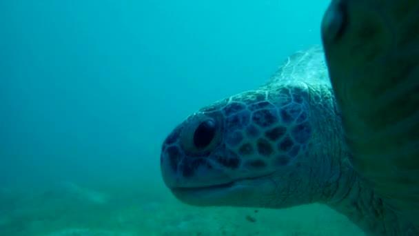 green sea turtle (Chelonia mydas) swim and chews seagrass