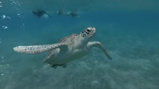 Man, woman and little boy in mask, snorkel and fins swim and look at on Green sea turtle Chelonia mydas (underwater shot, 4K / 60fps)