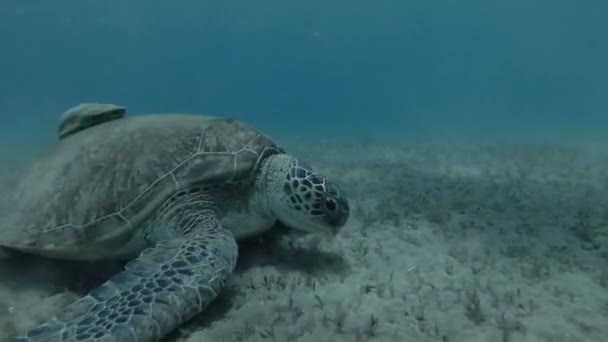 Woman and little boy in mask, snorkel and fins swim and look at on Green sea turtle Chelonia mydas (underwater shot, 4K / 60fps)