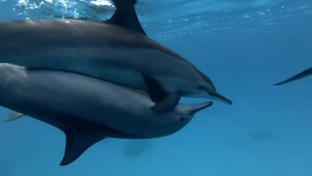 Eine Gruppe trächtiger weiblicher Spinner-Delfine - Stenella longirostris schwimmt im blauen Wasser über den sandigen Boden