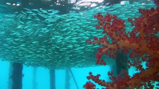 Massive Schule der Fische schwimmen unter Pier - Rotes Meer, Marsa Alam, Ägypten