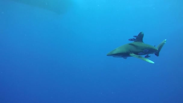 Oceanic Whitetip Shark swim in the blue water - Underwater shot, Oceanic Whitetip Shark (Carcharhinus longimanus), Red Sea, Egypt