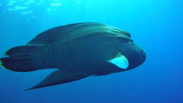 Napoleonfish úszni, a kék víz - Humphead ajakoshal vagy Napóleon (Cheilinus undulatus), a Vörös-tenger, Marsa Alam, Egyiptom
