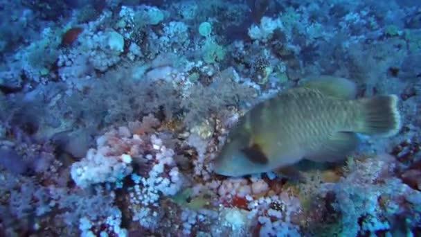 fiatal Napoleonfish etetés egy korallzátony - Humphead ajakoshal vagy Napóleon (Cheilinus undulatus), a Vörös-tenger, Marsa Alam, Egyiptom