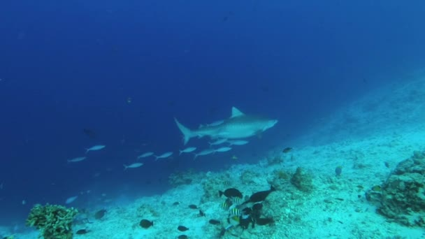 Tiger shark swims in the blue water over reef. Underwater shot, Tiger Shark (Galeocerdo cuvier), Indian Ocean, Maldives