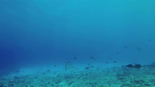 Tigriscápa úszik a kék vízben zátony fölött. Víz alatti szemcsésedik, tigriscápa (Galeocerdo cuvier), Indiai-óceán, Maldív-szigetek