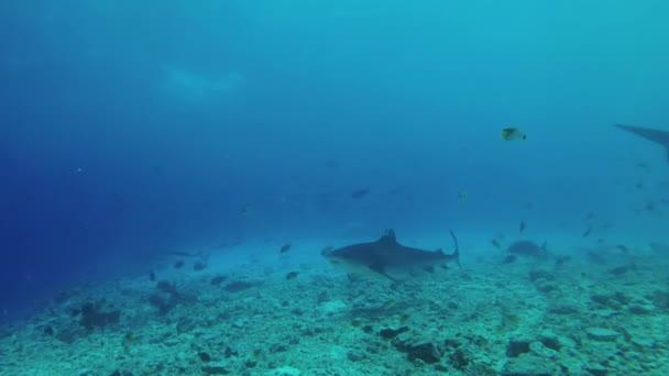 Két tigriscápa úszik a kék vízben sekély vízben. Víz alatti lövés, Tigris cápa (Galeocerdo cuvier), Indiai-óceán, Maldív-szigetek