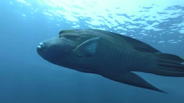 Napoleonfish nuotare nellacqua blu - Cheilinus undulatus o Napoleone (Cheilinus undulatus), mar rosso, Marsa Alam, Egitto