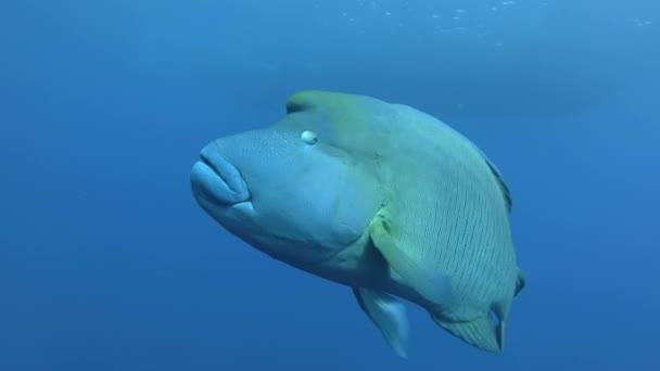 Napoleone si avvicina in acqua blu. Cheilinus undulatus o Napoleonfish - Cheilinus undulatus, mar rosso, Marsa Alam, Egitto