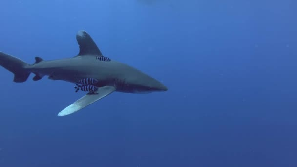 Shark swim in the blue water -  Oceanic Whitetip Shark, Carcharhinus longimanus, Underwater shot, Red Sea, Egypt