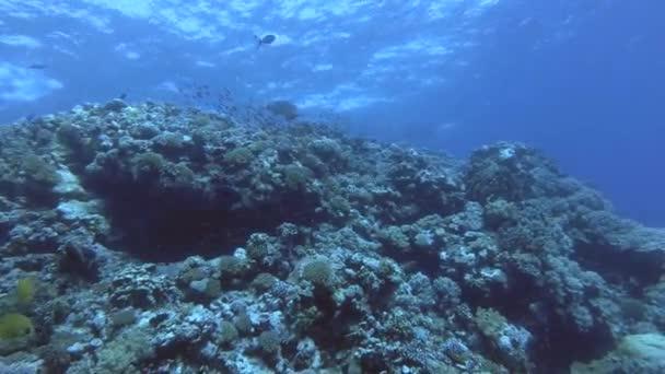 Napóleon úszni a kék víz feletti felső korallzátony-nagy-kis szög lövés, Humphead ajakoshal vagy Napoleonfish - Cheilinus undulatus, Vörös-tenger, Marsa Alam, Egyiptom