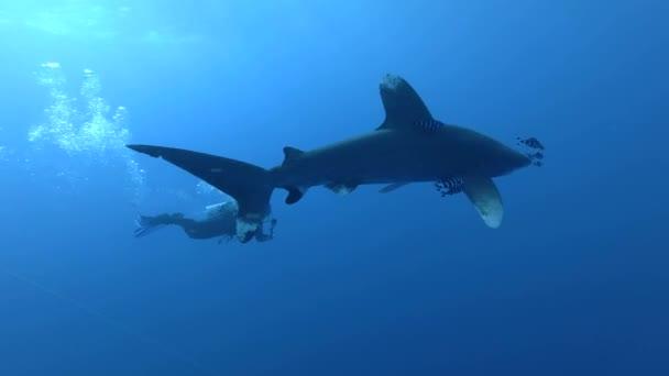 Rotes Meer, Marsa Alam, Ägypten - Juli 2018: Taucher schwimmen und fotografieren Gopro - ozeanischer Weißspitzenhai (Carcharhinus longimanus) schwimmt im blauen Wasser, rotes Meer, Marsa Alam, Ägypten