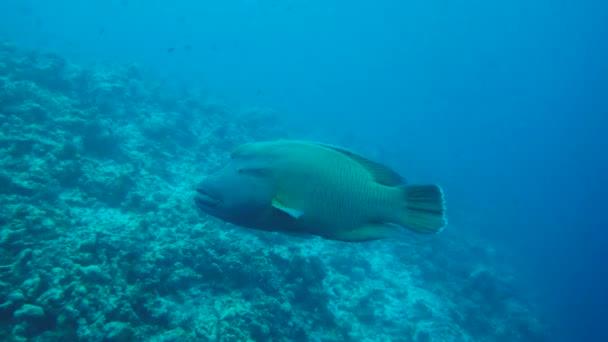 Napoleonfish nuotare nellacqua blu - Cheilinus undulatus o Napoleone (Cheilinus undulatus), oceano indiano, Maldive