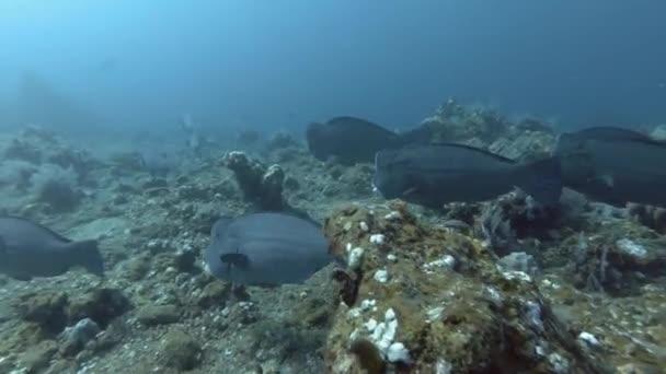 Škola černé samci a žluté ploskozubec plavat nad korálovými útesy v modré vodě. Zelené, černé samci a žluté ploskozubec - Bolbometopon muricatum. Bali, Oceánie, Indonésie