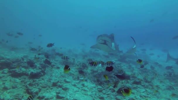 Nagy taps a pofák tonhal eszik tigriscápa, iskola a különböző típusú trópusi halak úszni, közeli. Tigriscápa, Indiai-óceán, Galeocerdo cuvier, Fuvahmulah Atoll, Tiger Zoo merülőhely, Maldív-szigetek