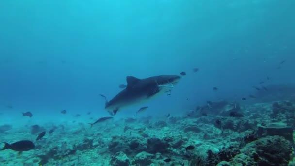 Nagy taps a pofák tonhal eszik tigriscápa. Tigriscápa, Indiai-óceán, Galeocerdo cuvier, Fuvahmulah Atoll, Tiger Zoo merülőhely, Maldív-szigetek