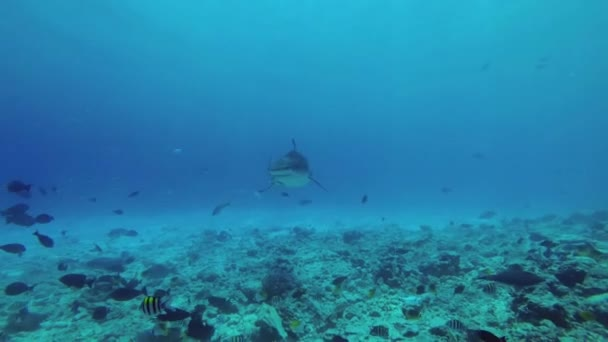 Tigerhai schwimmt über felsigen Meeresgrund. Tigerhai, Galeocerdo Cuvier, Indischer Ozean, Fuvahmulah Atoll, Tigerzoo-Tauchplatz, Malediven