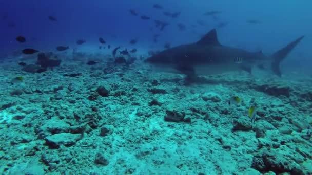 Nahaufnahme: Tigerhai schwimmt über felsigen Meeresgrund, in der Nähe schwimmen Schwärme verschiedener tropischer Fischarten. Tigerhai, Galeocerdo Cuvier, Indischer Ozean, Fuvahmulah Atoll, Tigerzoo-Tauchplatz, Malediven