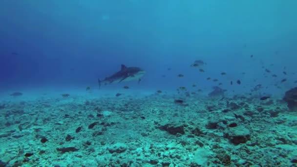 Drei Tigerhaie schwimmen langsam durch den felsigen Meeresboden auf der Suche nach Nahrung, in der Nähe schwimmen Schwärme verschiedener tropischer Fischarten. Tigerhai, Galeocerdo Cuvier, Indischer Ozean, Fuvahmulah Atoll, Tigerzoo-Tauchplatz, Malediven