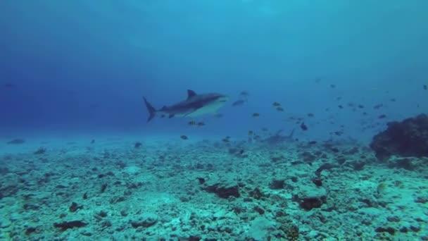Drei Tigerhaie schwimmen langsam auf dem felsigen Meeresboden, in der Nähe schwimmen Schwärme verschiedener tropischer Fischarten. Tigerhai, Galeocerdo Cuvier, Indischer Ozean, Fuvahmulah Atoll, Tigerzoo-Tauchplatz, Malediven