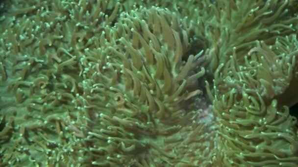 Szőrös gomba korall (Rhodactis indosinensis) közelsége. Makro 1: 1, víz alatti lövés
